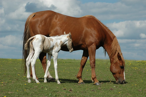 Blondie and her Filly Foal