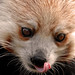 Licking Red Panda Don Johnson