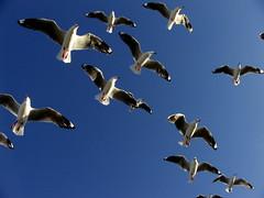 Gold Coast Sea gulls
