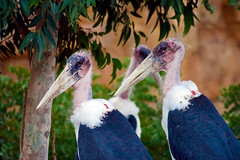 animal, fauna, ciconiiformes, marabou stork, beak, bird, wildlife,