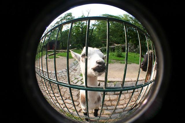 Fisheye Goat
