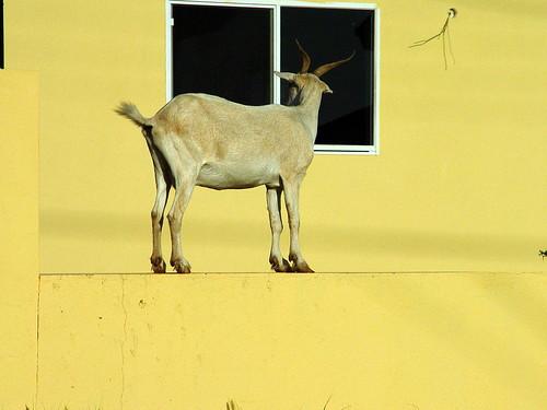 Goat on a Ledge in Aruba
