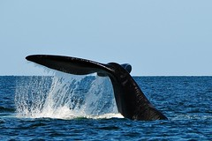 Tail of a southern right whale in Golfo Nuevo (Valdés peninsula), Argentina