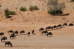 adventure(0.0), camel(0.0), arabian camel(0.0), savanna(0.0), animal(1.0), wildebeest(1.0), mammal(1.0), herd(1.0), fauna(1.0), natural environment(1.0), desert(1.0), safari(1.0), wildlife(1.0),