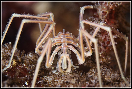 Sea spider posing