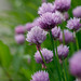 chives by Esther Lundmark