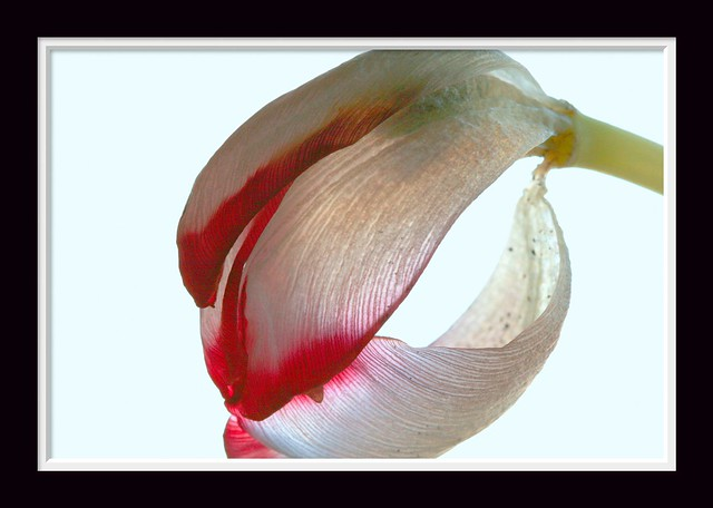 THE BEAUTY OF A DYING TULIP                                  جمال إحتضار زهرة الزنبق