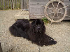 animal(1.0), dog(1.0), caucasian shepherd dog(1.0), pet(1.0), mammal(1.0), newfoundland(1.0),
