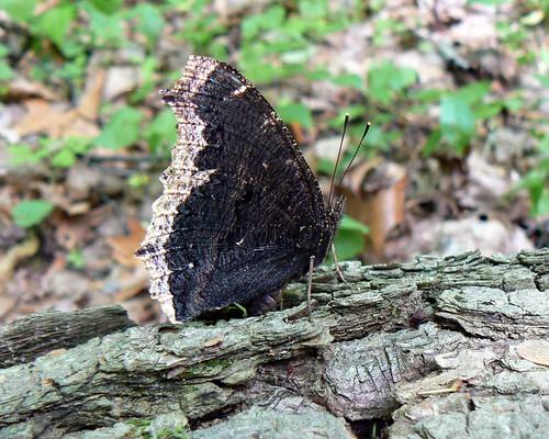 park ohio nature butterfly bug oak mourning cloak preserve openings metropark mourningcloak oakopenings nymphalisantiopa oakopeningspreservemetropark