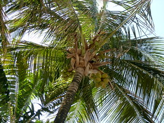 arecales, borassus flabellifer, coconut, palm family, branch, tree, produce, fruit, food,