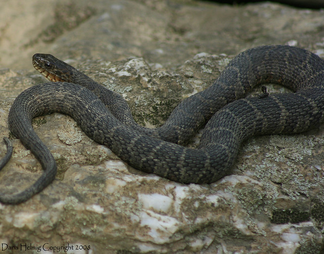 Non Venomous Snakes of Tennessee http://www.flickr.com/photos/horizonsmoon1/2602176972/