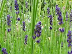 "Lavandula augustifolia ""Hidcote"""