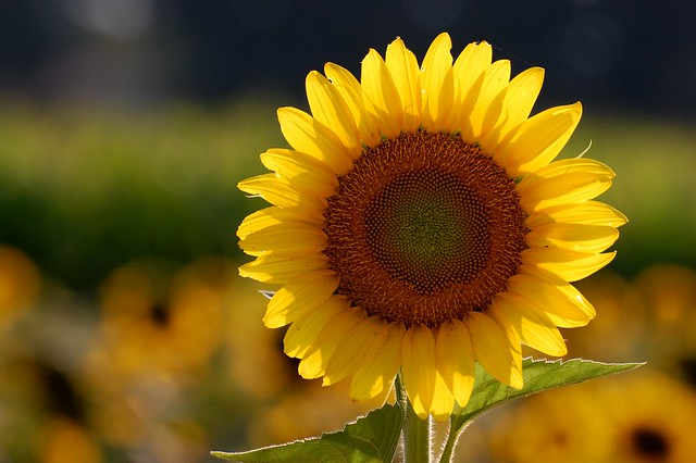 sunflower-backlit