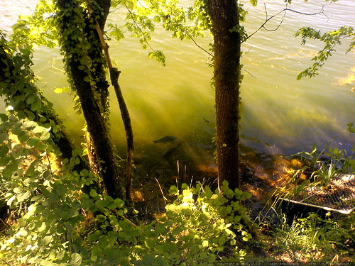 big fish lurking under the surface of lake oswego   DSC01522