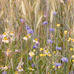 fleurs des champs - Photo of Craponne-sur-Arzon