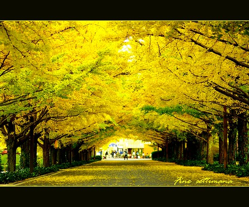 An avenue of ginkgo