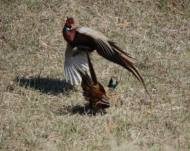 Rooster Pheasants Fighting