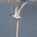 Forster's Tern - Photo (c) Mike Baird, some rights reserved (CC BY)