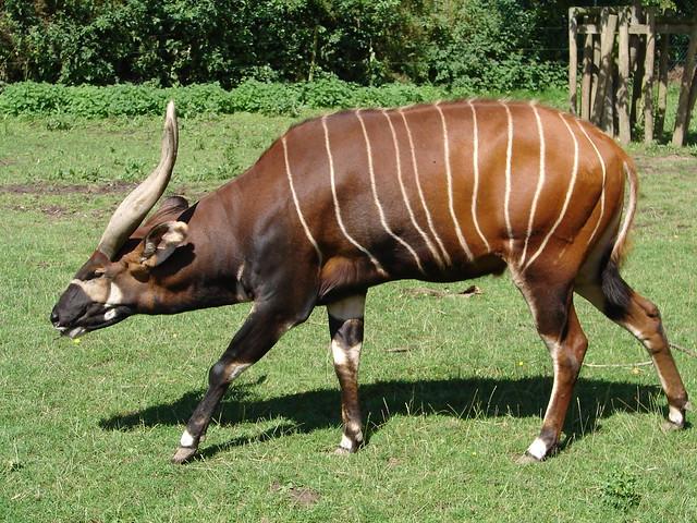 eastern bongo tragelaphus eurycerus isaaci flickr   photo sharing