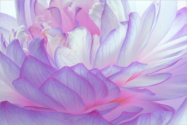 Purple Lotus Petals / lotus_Petal - Flower Macro - IMG_4695