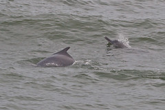 Indo-Pacific Hump-backed Dolphin
