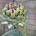 Artichoke - Photo (c) Anna, some rights reserved (CC BY)