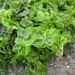 Sea Lettuces - Photo (c) Kristian Peters, some rights reserved (CC BY-NC-SA)