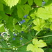 Small photo of Alkanet and Golden Hop