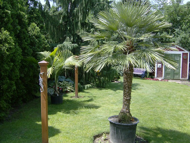 European Fantail Palm http://www.flickr.com/photos/cepage1ca/2572718251/