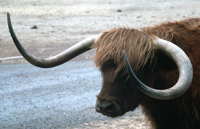 Animals With Big Horns Iii A Gallery On Flickr