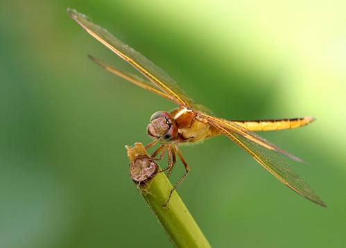 dragonfly © hbw garyburke gwburke2001 happybokehwednesday copyrightedallrightsreserved gburke6 copyrightprotectedallrightsreserved