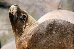 Seal at Aalborg Zoo
