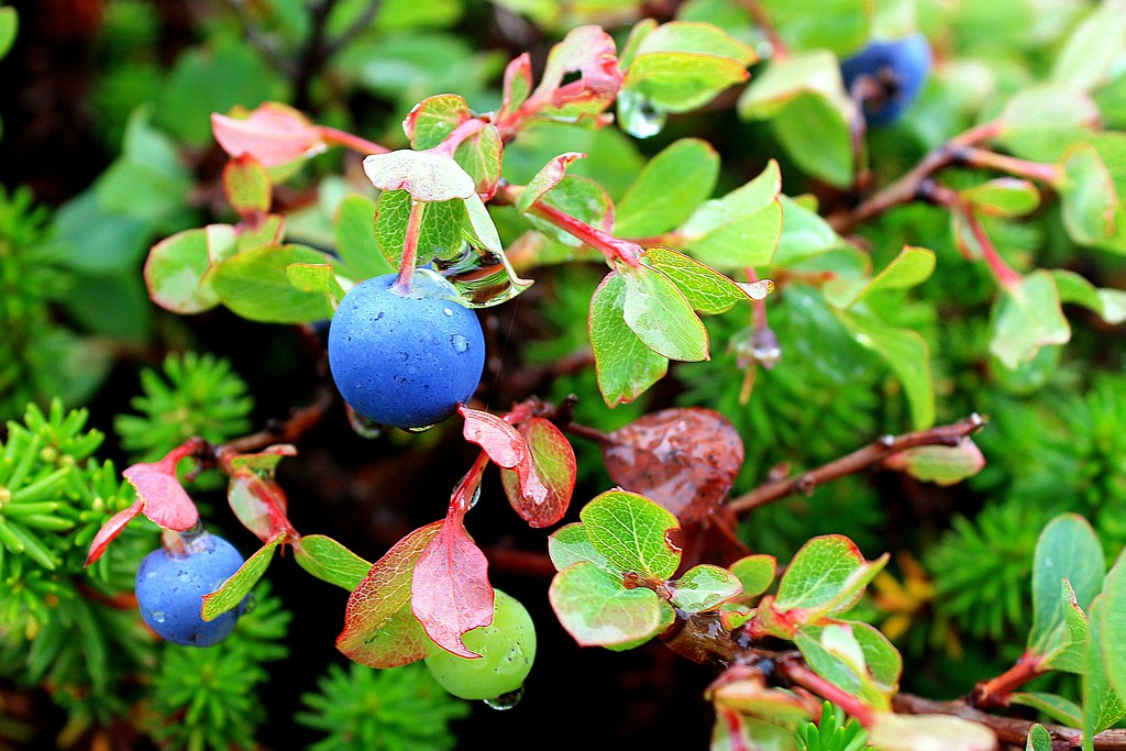 Bog Bilberry - Photo (c) Asa-moya, some rights reserved (CC BY-NC-ND)
