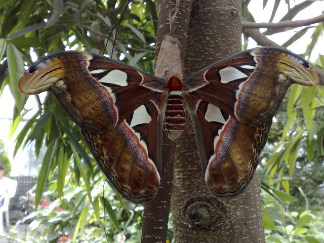 Butterfly at brookside gardens flickr photo sharing - Atlas Moth Flickr Photo Sharing