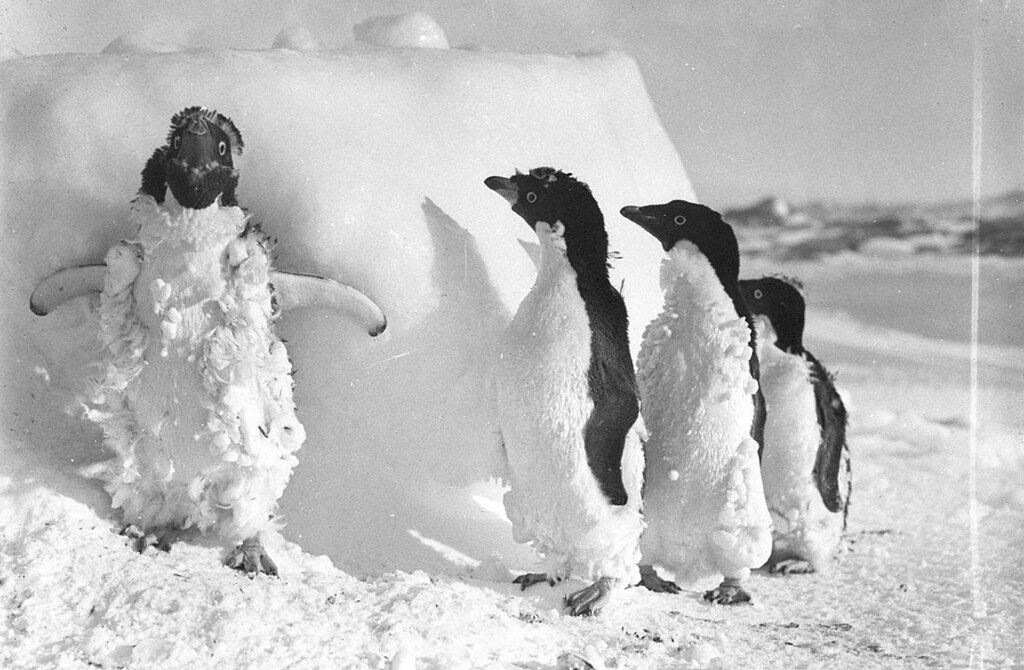 Ice cased Adelie penguins after a blizzard at Cape Denison / photograph by Frank Hurley