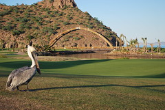 Pelican on the golf course in Loreto Bay Mexico