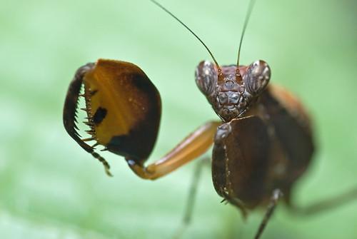 Ephestiasula sp. boxer mantis DSC_8890 copy