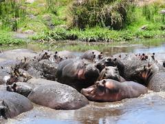 Hippo Mudbath, Ngorongoro