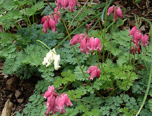 Dicentra King of Hearts & Ivory Hearts