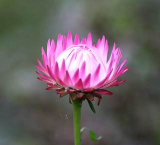 Pale pink Strawflower