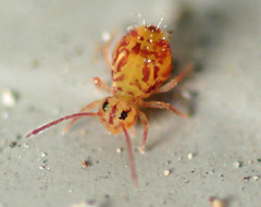 Springtails bugs in bed Springtails in swimming pools
