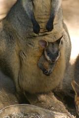 kangaroo(0.0), kinkajou(0.0), viverridae(0.0), wallaby(1.0), animal(1.0), mammal(1.0), fauna(1.0), macropodidae(1.0), wildlife(1.0),