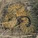 Rattlesnake by eDDie_TK