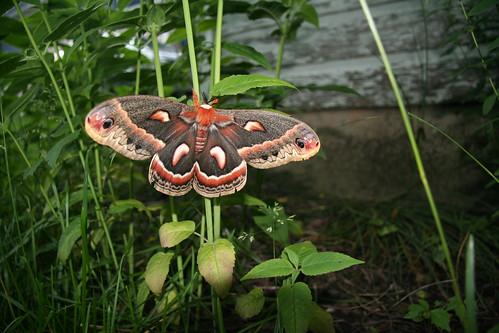 Moth on Monarda