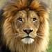 "African Lion, Male, ""Izu"" by CharlesSF"