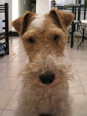 dog breed, animal, dog, schnoodle, pet, mammal, wire hair fox terrier, lakeland terrier, welsh terrier, irish terrier, irish soft-coated wheaten terrier, fox terrier, scottish terrier, terrier,