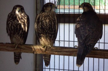 Falco cherrug 2620604192_f6d967a05f_o
