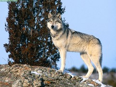 animal, canis lupus tundrarum, west siberian laika, dog, czechoslovakian wolfdog, gray wolf, red wolf, mammal, east siberian laika, fauna, greenland dog, wolfdog, saarloos wolfdog, coyote, wildlife,