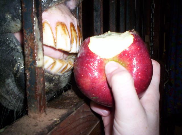 horse eats apple