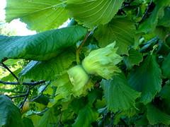 hazelnut tree in the neighborhood   DSC01411